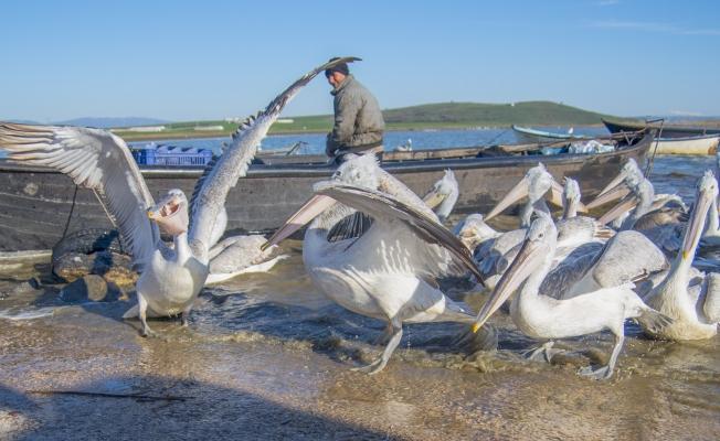 Manyas Gölü'nde balıkçılarla pelikanların dostluğu
