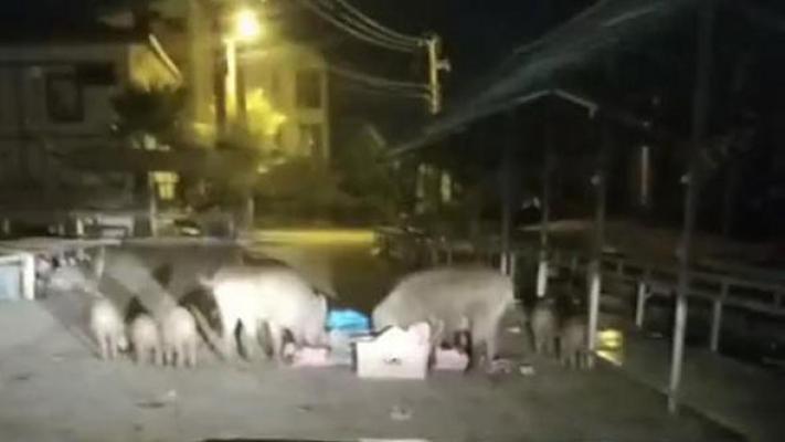 Tatil cennetinde domuz sürüsü sokaklara indi