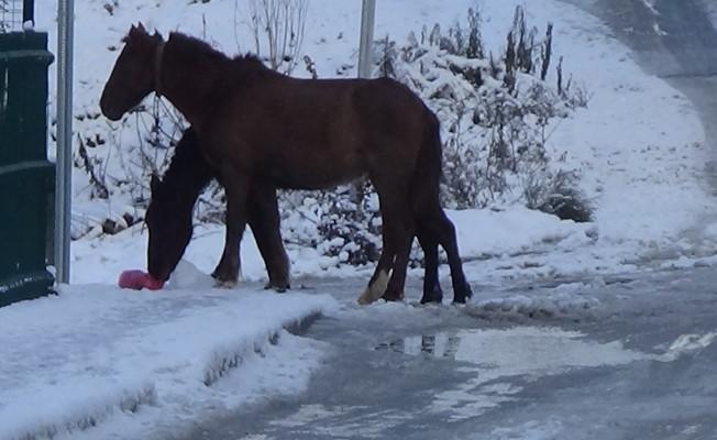 Bursa'da başı boş atlar sokak sokak yiyecek aradı