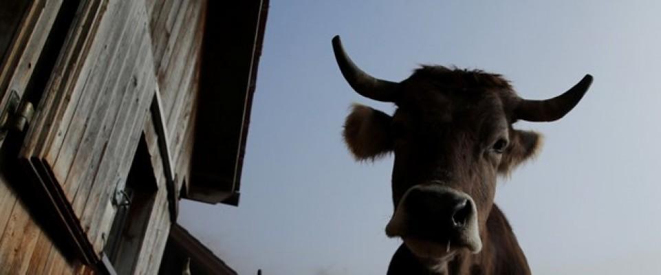 Hindistan'da bir Müslüman inek çaldığı şüphesiyle linç edildi