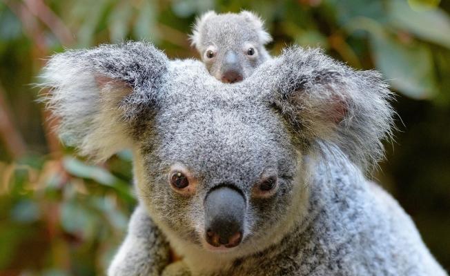 Koalaların nesli 'fonksiyonel olarak' tükendi