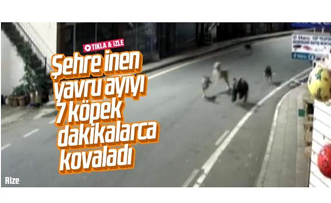 Sokak köpekleri, ilçe merkezine inen ayıyı kovaladı