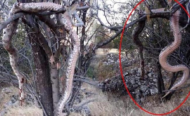 6 metrelik yılanı öldürüp ağaca astılar