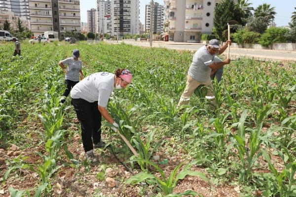 Kentin göbeğinde mısır yetiştiriyorlar