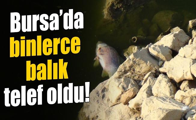 Bursa'da kapaklar açıldı, susuz kalan balıklar telef oldu
