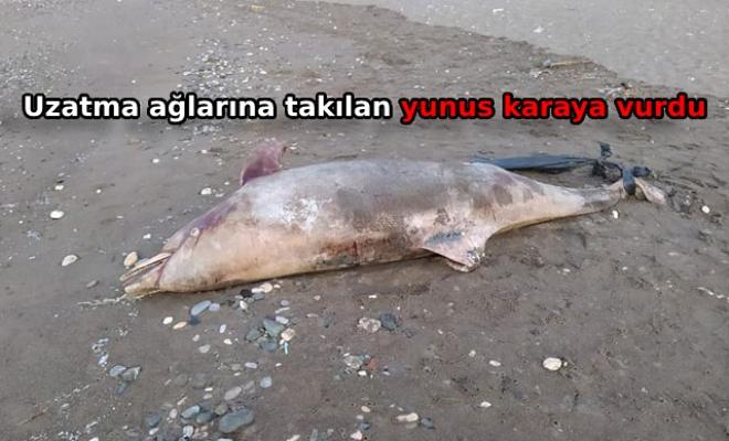 3.5 metre uzunluğundaki yunus karaya vurdu