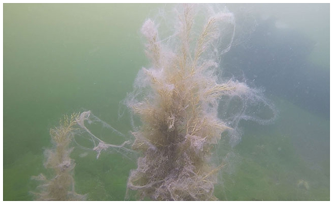 Müsilajın su altındaki etkisini görüntüleyen dalgıç: Aşağıda büyük bir felaket yaşanıyor