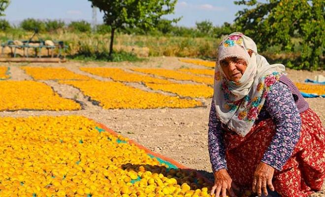 15 bin mevsimlik işçi bayramı kayısı bahçesinde geçiriyor