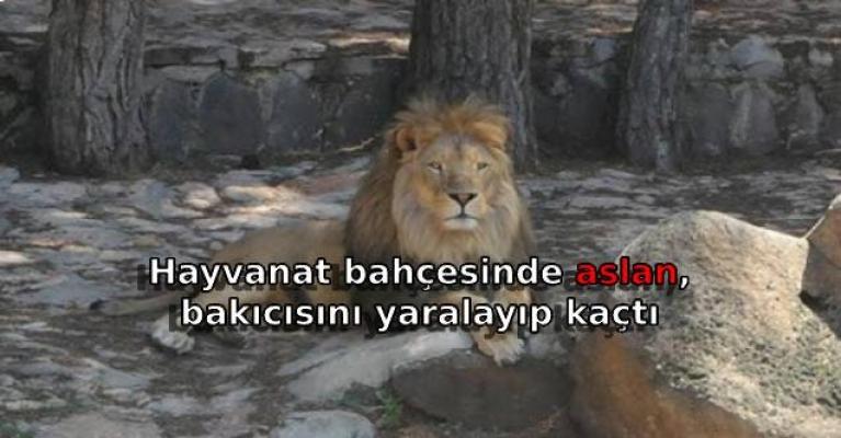Hayvanat bahçesinde aslan, bakıcısını yaralayıp kaçtı