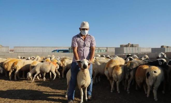 Hayvanları ölen çiftçiye 100 koyun hediye edildi