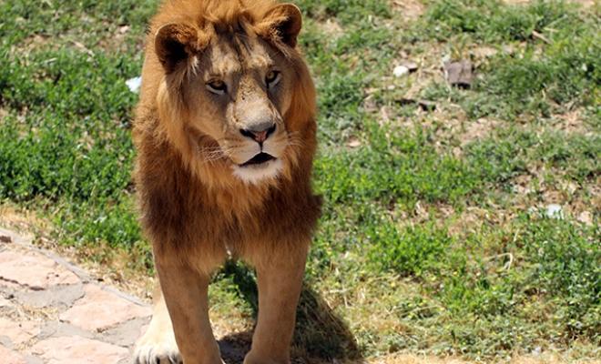 Kafesinden kaçan aslan ve saldırdığı bakıcısının sağlık durumu iyi