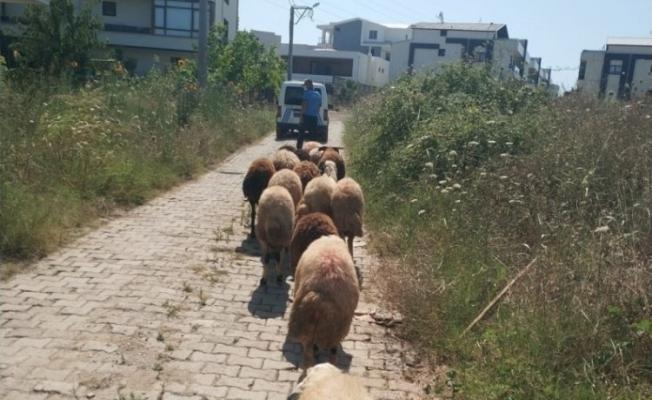 Koyunları kaybolan çiftçinin yardımına zabıta koştu