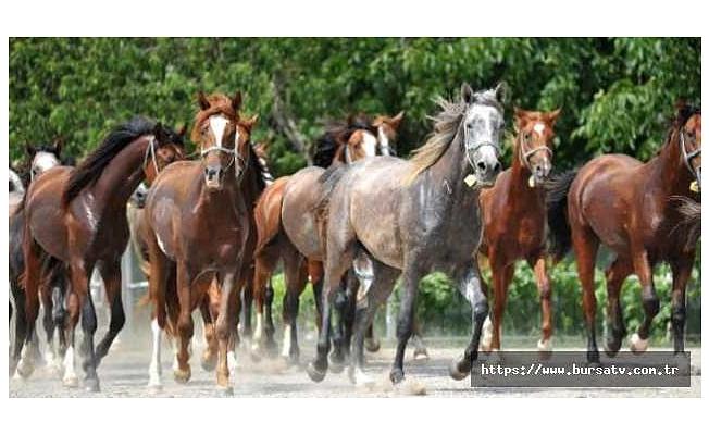 Şampiyon safkan Arap atlarının tayları, Karacabey'de yetiştiriliyor
