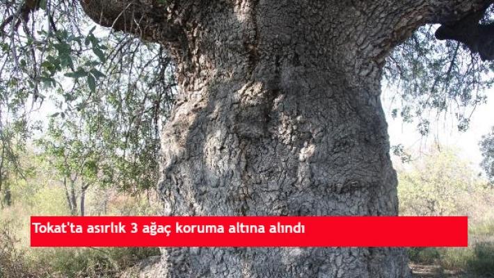Tokat'ta asırlık 3 ağaç koruma altına alındı