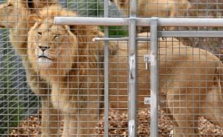 Kafesinden kaçan aslan hayvanat bahçesi çalışanını öldürdü