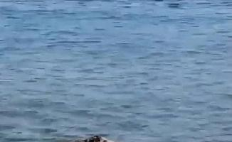Çanakkale'de denizde görüntülenen domuz şaşırttı
