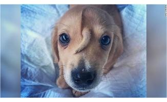 10 aylık köpeğin alnında kuyruk çıktı