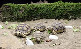 Kaplumbağalarımız Ormanya'da rehabilite ediliyor