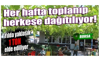 Bursa'da hem gölgesinden, hem de meyvesinden faydalanıyorlar