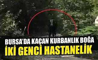 Bursa'da 40 saat sonra bulunan kurbanlık boğa iki genci hastanelik etti