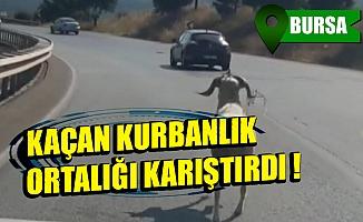 Bursa'da kaçan kurbanlık koç ortalığı karıştırdı!