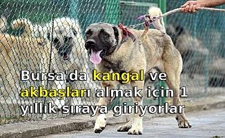 Bursa'da kangal ve akbaşları almak için 1 yıllık sıraya giriyorlar