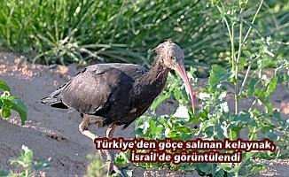 Türkiye'den göçe salınan kelaynak, İsrail'de görüntülendi