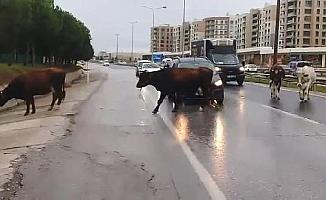 Büyükçekmece'de başıboş inekler trafiği birbirine katttı