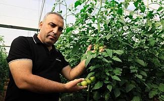 Yaylada hasat süresi uzadı; domatesin fiyatı 10 lirayı geçti