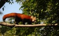 Bursa'da kırmızı panda mevsimi