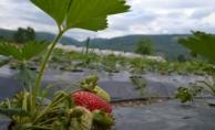 Bursa'da çilek hasatı başladı